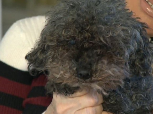 Toy Poodle Seized by Hawk, Found Alive 28 Hours Later
