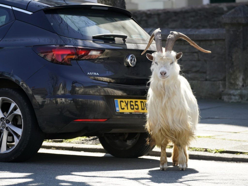 Just Kidding! Historic UK Town Invaded by Goats After Streets Left Abandoned During Lockdown