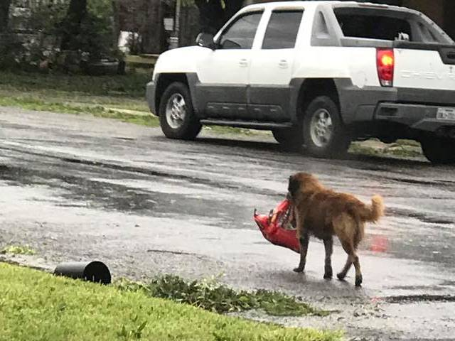 Dog Shows Texas Spirit During Hurricane Harvey