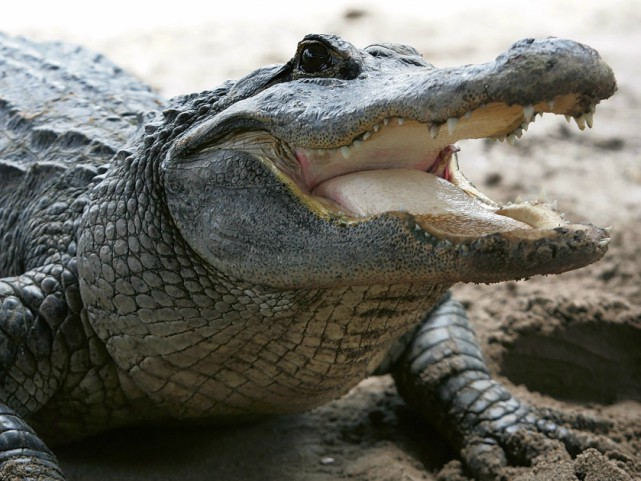Woman Killed by Alligator After Community Warned of Animal