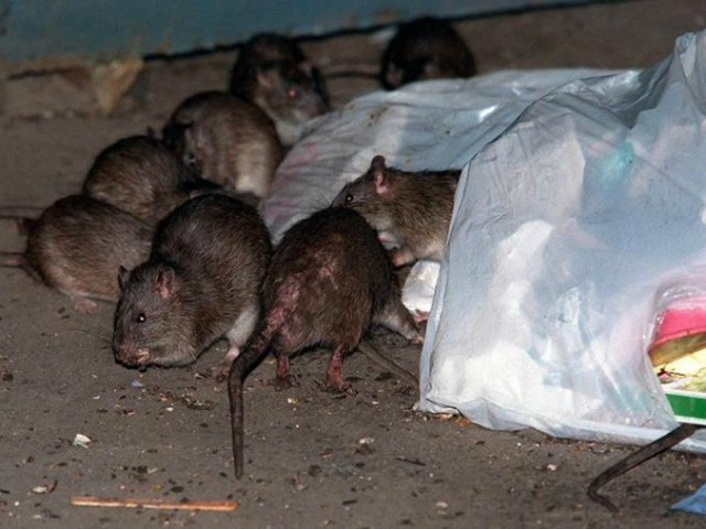 Study: Chicago Named Number One 'Rat Capital' in the U.S.