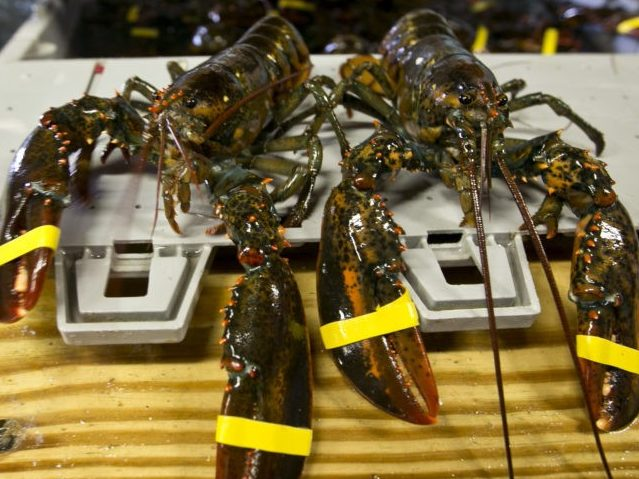 Maine Rejects PETA's Request to Build Tombstone for Dead Lobsters