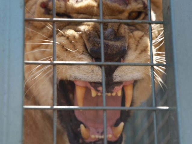 Ethiopian Politician Arrested for Torturing Prisoners with Lions and Tigers