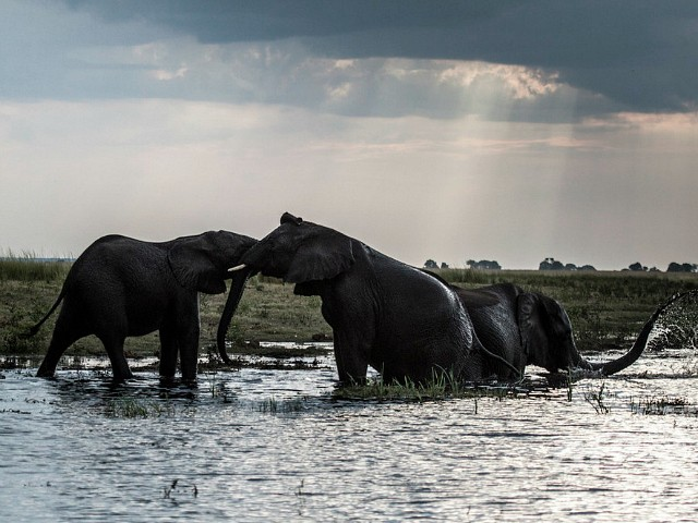 Elephant Poaching Mass Grave Discovered in Botswana
