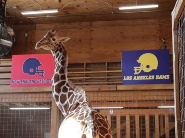 WATCH: April the Giraffe Picks New England to Win the Super Bowl