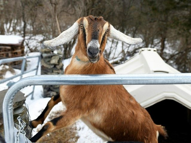 Vermont Town Swears in Goat Mayor