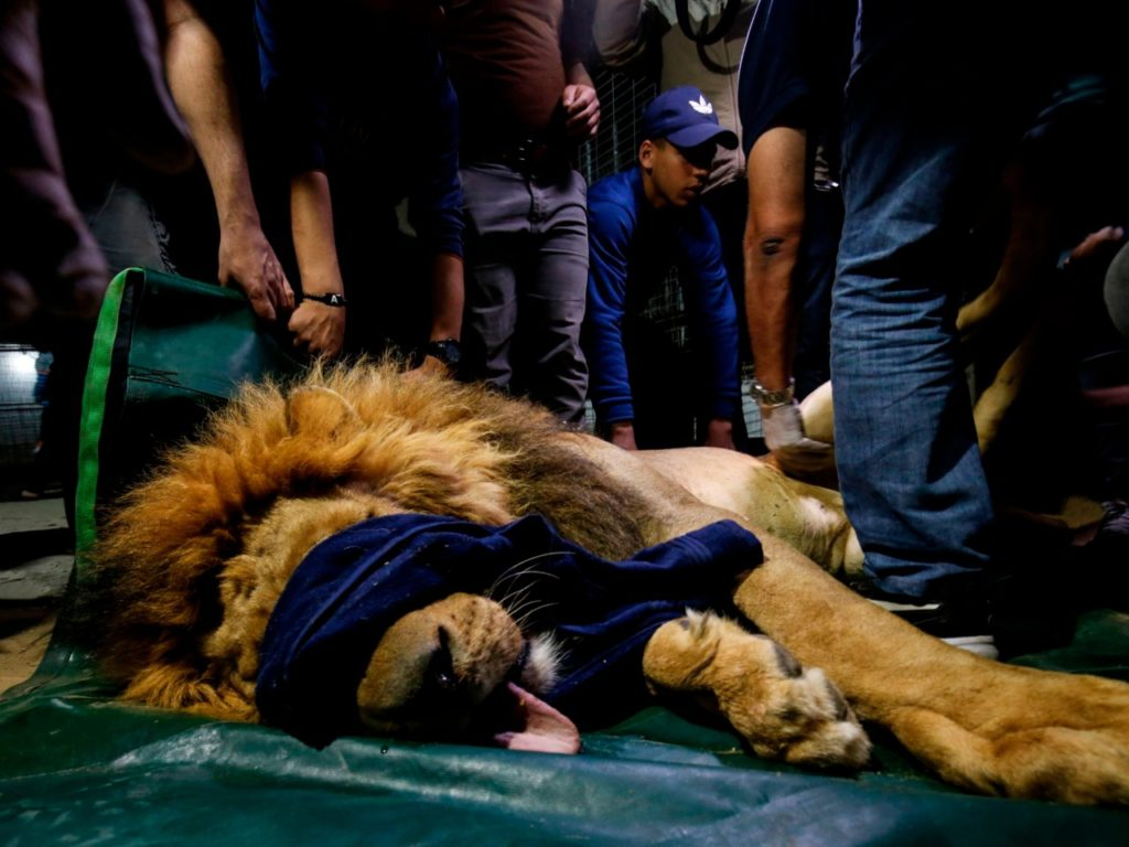 Pictures: 47 Endangered Animals Evacuated from Gaza Zoo