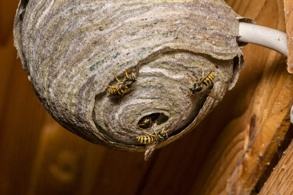 Giant Wasp Nests Are Back in Alabama